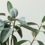 Een olijfboom in huis en tuin